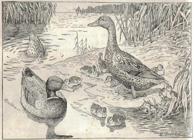 sketch of ducks